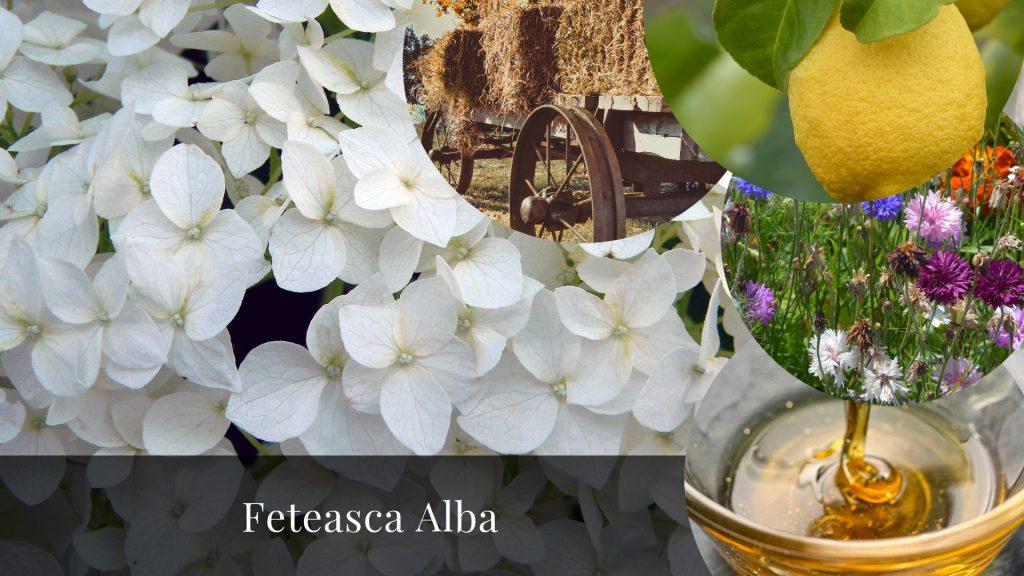 Feteasca Alba native grape varieties